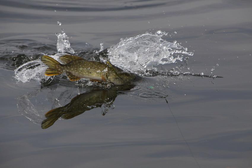 как ловить толстолобика в прудах снасти